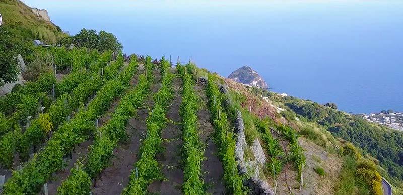Виноградники на острове Искья